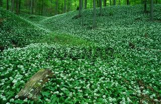 Baerlauch im Fruehlingswald