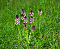 Brand-Knabenkraut, Neotinea ustulata, burnt orchid, burnt-tip orchid