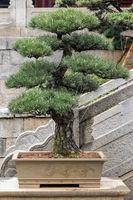 pine bonsai tree in spring