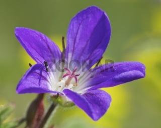 Wald-Storchschnabel (Geranium sylvaticum)