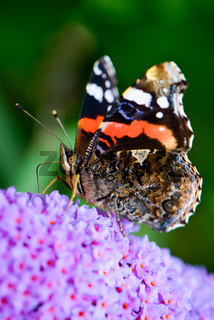 Red Admiral - Admiral