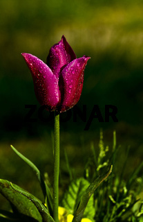 Purple Tulip With Rain Drops