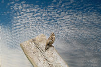 House Sparrow seen from behind, head turned towards the camera. The bird sits on a wooden plank with a blue sky and white sheep clouds in the background. Copy space, selective focus, blur