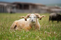 Sheep with twisted horns, Traditional Slovak breed - Original Valaska resting in spring meadow grass, eyes half closed