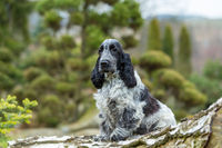 outdoor portrait of sitting english cocker spaniel