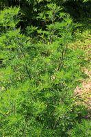 Beifußblättriges Traubenkraut, Ambrosie, Hogweed,  Ambrosia artemisiifolia