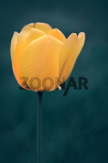 Spring yellow tulip isolated on blur green background.