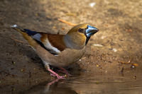 Hawfinch standing on riverbank in springtime nature