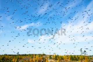 A huge number of mosquitoes
