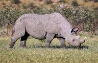 Spitzmaulnashorn, Etosha, Namibia; black rhinoceros, Namibia, Diceros bicornis