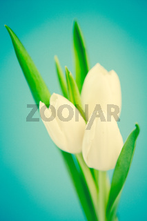 Three beautiful white tulips on a blue background