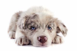 puppy border collie