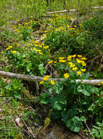 Sumpfdotterblume, Caltha palustris, marsh marigold