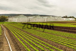 Salatfeld und Gewächshäuser auf der Insel Reichenau, Bodensee, Baden-Württemberg, Deutschland