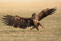 Immature white-tailed eagle with open wings on field