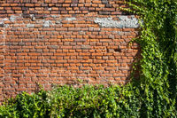 Old Brick Wall Background With Creeping Plants