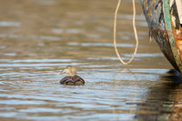 Common Eider - somateria mollissima - female swimming in sea water