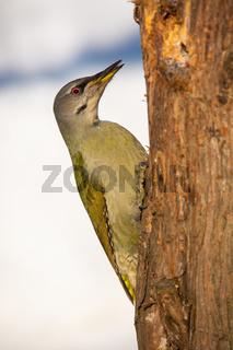 Grey-headed woodpecker climbing the tree in winter sunny weather