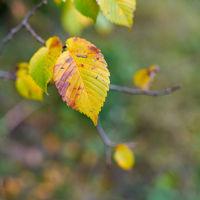 Blätter einer Flatterulme (Ulmus laevis) mit Herbstfärbung
