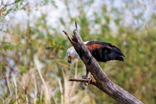 African Fish Eagle Ethiopia Africa wildlife