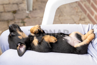 One month old brown brindle Jack Russell puppy lies relaxed on his back on a woman's lap. The dog is sleeping. For the first time in the sun. Animal Themes, Selective Focus