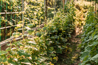 Garden bed with cucumbers at the sunny day