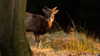 Young mouflon peeking out from behind tree in evening sun