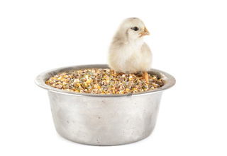 young chick and cereals