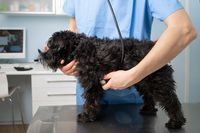Veterinary, examining a dog , with stethoscope at clinic
