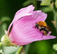 Common carder bee on a pink malva flower blossom