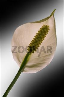 white yellow Anthurium Spatifillum