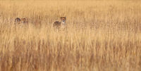 Geparde im hohen Gras im Etosha-Nationalpark, Namibia; cheetahs in the grass at Etosha National Park, Namibia, Acinonyx jubatus