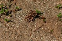 Heuschreckensandwespe (Sphex funerarius)