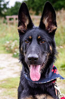 Young german shepherd puppy dog in the nature with dog leash
