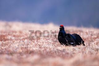Male of black grouse lekking on dry alpine meadow with open beak