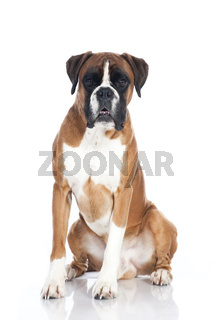 Sitzender Boxer