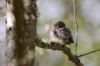 young Eurasian pygmy owl (Glaucidium passerinum) Swabian Jura Germany