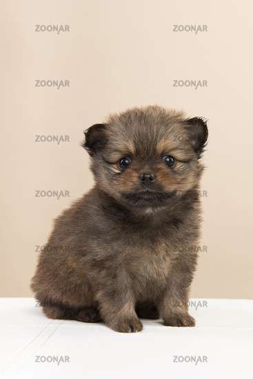Cute sitting pomeranian dog puppy looking at the camera on a cream colored background