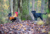 rooster versus dog thru the fence fstare down