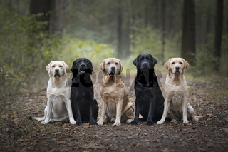 Group of five labrador retrievers looking at the camera sitting in a forest lane