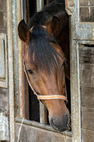 Curious brown horse looks out of stable door. The stallion wears an orange and brown halter. Hay hangs from the brown horse's mouth