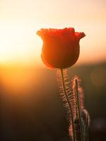 Poppyflowers at sunrise in Burgenland