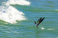 Seabird coming out of the water in front of the waves