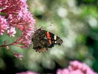 Admiral butterfly on an Eupatorium flower