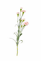 carnation flower isolated on white