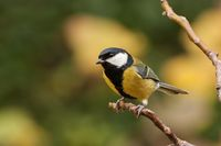 Great tit, Parus major, with autumnal background.