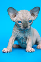 Excellent kitten of Canadian Sphynx Cat breed sitting on blue background