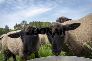 Portrait of two cute funny young sheep