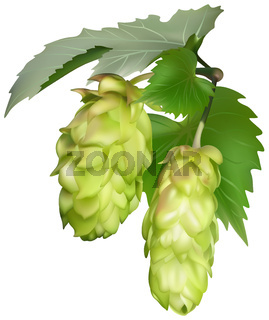 Green Common Hop