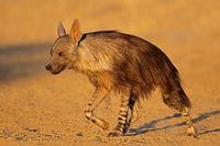 An alert brown hyena (Hyaena brunnea)